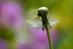 (evisdotter) Tags: dandelion maskros fröställning flower blomma macro bokeh colors nature sooc