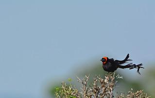 Red-collared Widowbird - 6289b+
