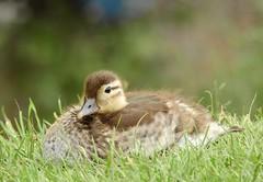 Mandarin duckling (PhotoLoonie) Tags: mandarinduck duck mandarinduckling wildlife uk nature duckling