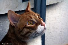 Il ritratto di Simba (2) (baridue) Tags: gatto animals animali simba pensieri