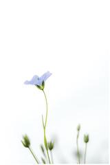 Fleur de Lin (domi2259) Tags: rouge fleur lin bleu nature macro nikon