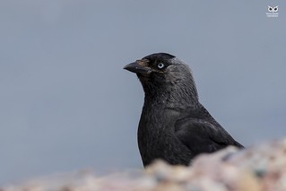 Gralha-de-nuca-cinzenta, western jackdaw (Corvus monedula)