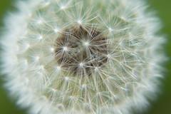 Dandelion (Ognjen Joldžić) Tags: flower dandelion while zoomed macro head taraxacum d3200