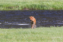 A very wet Bison calf climbs out of the river