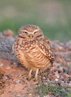 Burrowing Owl Zanjero park az