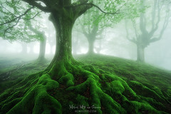 Tierra de raices (Mimadeo) Tags: roots root twisted tree trees forest moss spring springtime green fog foggy haze hazy mist misty mystery landscape trunk mysterious light gorbea fantasy dreamy