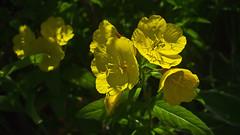 Living Life to the Full in the shadows (Bob's Digital Eye) Tags: bobsdigitaleye canon cpfilter depthoffield efs24mmf28stm eveningprimrose flicker flickr flowers garden gardenflowers plant t3i yellow macro