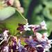 Ant Pollinating Common Milkweed