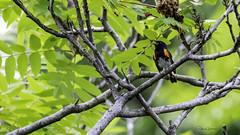 Paruline flamboyante (yveshebert) Tags: oiseaux oiseauxduquébec outaouais ottawariver gatineau birds