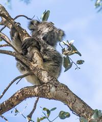 Joey (ChrisKirbyCapturePhotography) Tags: koala joey marsupial nocturnal australiananimal babyanimal chriskirbycapturephotography
