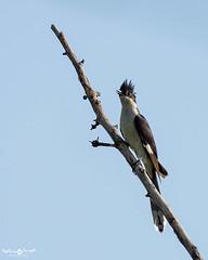 Jacobin cuckoo (mathewindelhi) Tags: cuckoo bird wildlife migrant delhi india nature today nikon