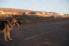 Junior (Rushay) Tags: 50mm african alsatian animal canine dog easterncape germanshepherd leash nightshot nikond810 pet portelizabeth portrait southafrica southafrican