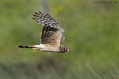 Northern Harrier (Gregory Lis) Tags: northernharrier circuscyaneus nikond810 nikon gregorylis gorylis nicolavalley britishcolumbia herrier separationlake