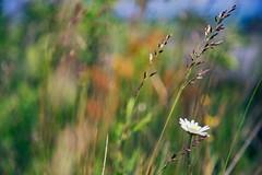 Summer Psychedelia (matthewkaz) Tags: leelanau leelanaustatepark statepark leelanaupeninsula flower daisy plants weeds lakemichigan greatlakes michigan summer 2017 color colors