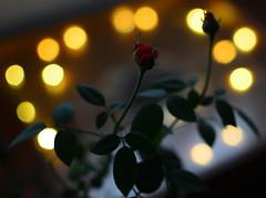 #InspiracionBdF16 Rosa de medianoche (alfonso.ai.photo) Tags: inspiracionbdf16 rosa medianoche nature naturaleza flower bokeh 35mm nikon rosas rose roses love amor
