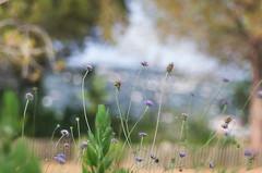 La Croix des Gardes - Cannes (bresciano.carla) Tags: trioplan pentax vintage nature meadow m42 bokeh pentaxart bokehwhores