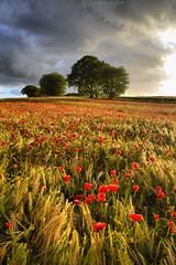 poppy field (Neal J.Wilson) Tags: stormclouds clouds trees fields poppy poppies wheat landscapes denmark d3200 danishlandscapes sunbeams jutland jylland sunburst nature landscape nordic scandinavia summer seasons red
