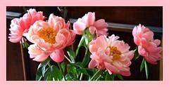 Blumentag (Steffi-Helene) Tags: blumen flowers pfingsrosen nature pink rosé primavera desfleurs