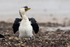 Little Pied Cormorant (oz-birds) Tags: birds littlepiedcormorant wellingtonpoint