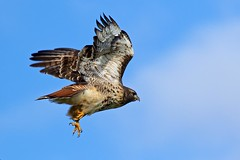 Red-tailed Hawk (r) (Melanie Leeson) Tags: redtailedhawk redtailedhawkinflight raptor raptorinthewild wildraptor blingsister canon7dmarkii canonef100400mmf4556lisiiusm14xiii southernvancouverisland
