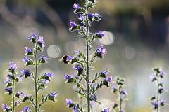 Echium vulgare (STE) Tags: echium vulgare erba viperina azzurra boraginaceae fiori flowers luce bokeh tamron90