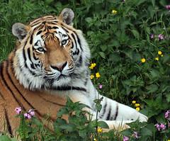 amurtiger taymir Ouwehands JN6A3698 (joankok) Tags: tiger tijger amoertijger amurtiger siberischetijger siberiantiger pantheratigrisaltaica ouwehands kat cat mammal zoogdier dier animal asia azie