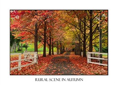 Autumn landscape (sugarbellaleah) Tags: leaves autumn fall deciduous pretty red orange yellow green leaf maple car driving road fence timber white grand park driveway lane trees flora season landscape outdoors scenic travel vacation perspective bitumen transport holiday getaway