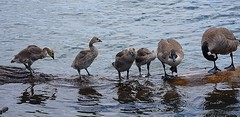 Young with Elders (swong95765) Tags: river geese canadiangeese birds water wet log learning lesson young adults chicks