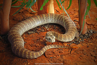 portrait: Barkly Death Adder