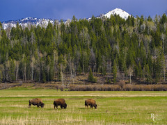 Bison Blue and Green (RobertCross1 (off and on)) Tags: 40150mmf456mzuiko bisonbison em5mkii mountainwest omd olympus rockymountains wy wyoming yellowstone yellowstonenationalpark animals bison bluesky bovine buffalo forest landscape meadow mountains nature snow trees wildlife