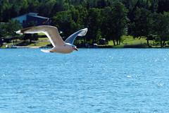 Havstrut (evisdotter) Tags: havstrut greatblackbackedgull bird fågel water reflections nature larusmarinus inflight light