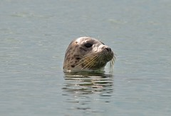 Inquisitive Seal in the sea off Felpham West Sussex. (daveayers17) Tags: bognorregis felpham westsussex seal