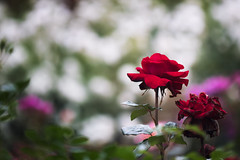 Life (jasohill) Tags: rose color decay vibrant flower vertical city cycles canon iwate red summer 2017 hachimantai photography death petal nature japan 80d