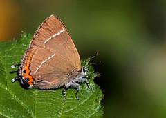White-Letter-Hairstreak (Darren.Chapman) Tags: white letter hair streak butterfly macro canon sigma oak tree