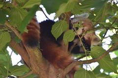 Relax (dfromonteil) Tags: pandaroux firefox animal tree arbre feuilles leaves nature colors couleurs vert green orange black noir