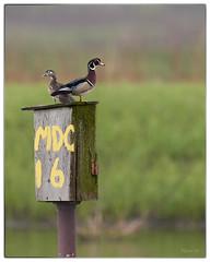Male and Female Wood Ducks at Eagle Bluffs Conservation Area - No. 1 (Nikon66) Tags: woodducks duck eaglebluffsconservationarea mdc nikon d800 600mmnikkor