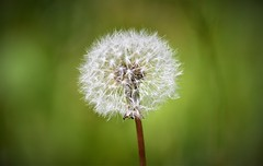 Tick Tock. (pstone646) Tags: nature seedhead dandylion flora closeup macro bokeh kent green white fragile