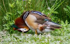 Mandarin stretch (pbr53) Tags: strouddistrict england unitedkingdom gb bird wildfowl duck mandarinduck