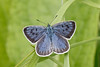 Large blue (Steve Balcombe) Tags: insect butterfly large blue lepidoptera maculinea arion polden hills somerset uk