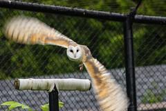 (marina~) Tags: owl barnowl mountsberg ontario halton milton conservation canon raptor raptorcentre jazz