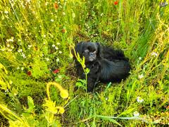 Зверушки 0393 (2016.05.21) (vladsky78) Tags: ильичёвск животные зелень цветы поле собака