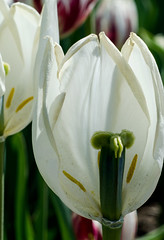 Inside out (LynxDaemon) Tags: tulips white pistil flower anatomy stigma petals filament style green