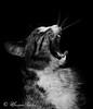 Billy (Massimo Chiodini) Tags: gatti cats natura animali