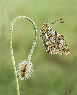 El tobogán...Issoria Lathonia