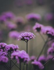 Eye Spy (Majime-SPN) Tags: nikon nikondslr nikond5500 nikoncamera dslr d5500 ニコンd5500 ニコンdslr japan japanese canadian 日本 川崎 神奈川 ニコン flower flowers flowersofflickr nature natur flowerviewing flowerphotography macro closeup bokeh