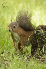 Eskrigg 14-07-2017 (CallumLaird) Tags: squirrels sony a77 70400 g camera slt lens lockerbie scotland unitedkingdom gb nature green trees nuts eskrigg