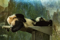 Bei Bei, A Great Panda Baby (JLyn Nature Photography) Tags: nationalzoo fonz smithsonianinstitute adobe photoshop pscc canon 70d panda giantpanda beibei