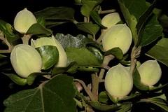 Hibiscus insularis (andreas lambrianides) Tags: hibiscusinsularis malvaceae phillipislandhibiscus australianflora australiannativeplants australiannativeflowers threatened hibiscus flowerbuds threatenedspecies