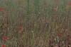 Poppy Stalks (Sue_Hutton) Tags: shepshed tickowlane alphabetchallenge2017 bforbrown intentionalmovement july2017 multipleexposure poppyfield poppystalks summer
