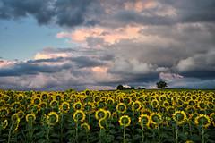 Quand le ciel fait son show (Excalibur67) Tags: nikon d750 sigma globalvision 24105f4dgoshsma paysage landscape nature nuages ciel cloud sky tournesol sunflower campagne